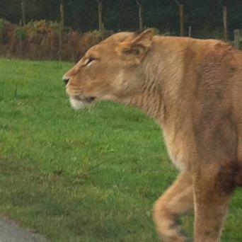 lion 72